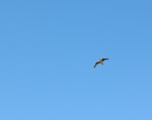 Jonathan Livingston Seagull lives!